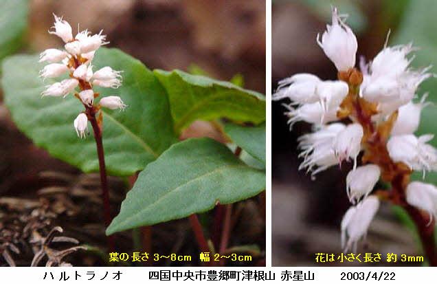 知恵の輪-愛媛の植物図鑑・ハルトラノオ